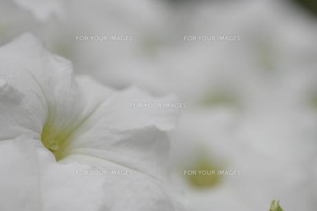 真っ白な花の素材 [FYI00436716]