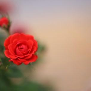 赤いミニバラの写真素材 [FYI00436724]