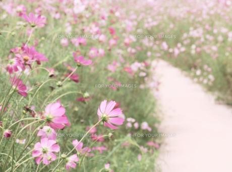 コスモス畑の写真素材 [FYI00436762]