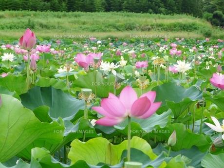大量のハスの花の写真素材 [FYI00436772]