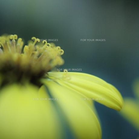 黄色い花のしべ・アップの写真素材 [FYI00436781]