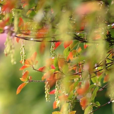 赤く色付いた葉と雨の雫の写真素材 [FYI00436782]