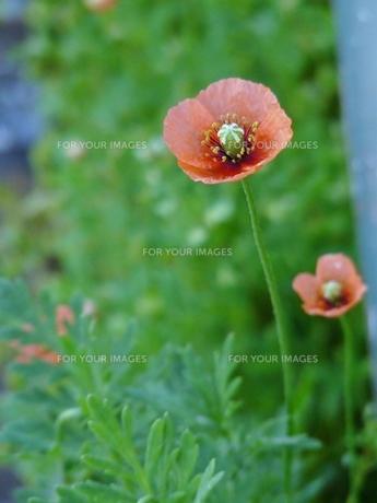 道端に咲いた花の素材 [FYI00436810]