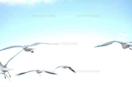 飛び立つカモメの写真素材 [FYI00436814]