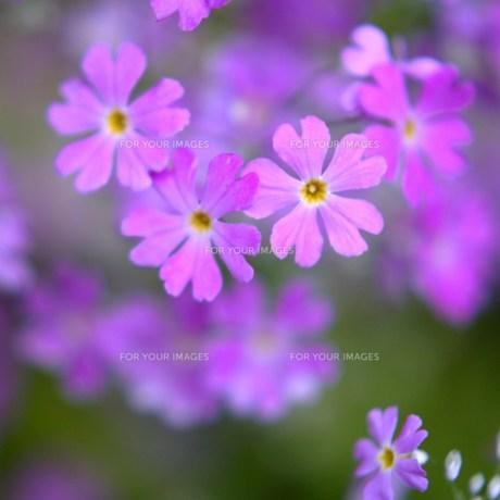 乙女桜の花の素材 [FYI00436836]