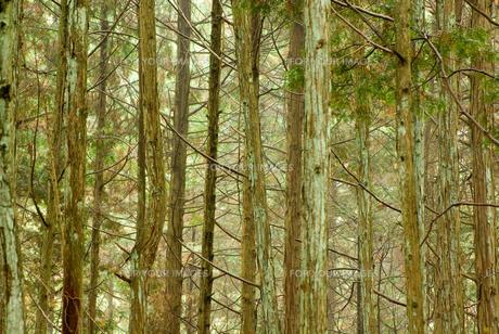 杉林の写真素材 [FYI00436902]