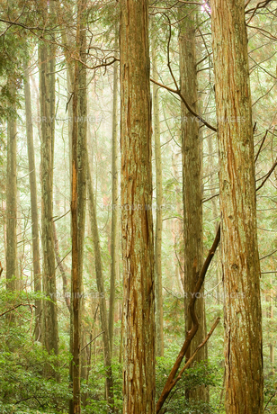雨の日の杉林の素材 [FYI00436906]