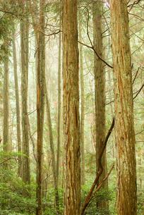 雨の日の杉林の写真素材 [FYI00436906]
