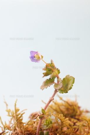 春の花の素材 [FYI00437002]