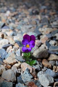 石に咲くビオラの写真素材 [FYI00437049]