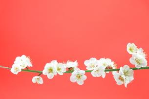 梅の花の写真素材 [FYI00437053]