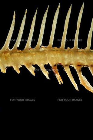 魚のあばら骨の写真素材 [FYI00437055]