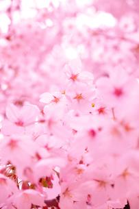 桜の写真素材 [FYI00437072]