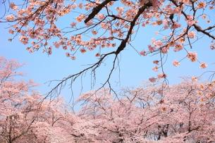 桜花の写真素材 [FYI00437077]