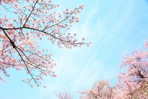 春の桜の木の写真素材 [FYI00437083]
