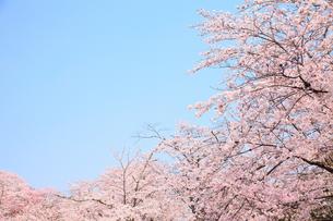 桜の木々の写真素材 [FYI00437089]