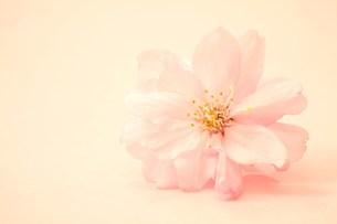 桜の花の写真素材 [FYI00437090]