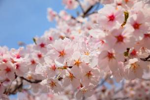 桜咲くの写真素材 [FYI00437097]