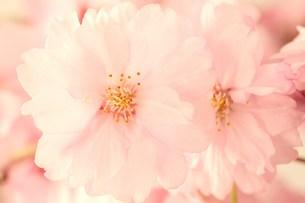 枝垂れ桜の写真素材 [FYI00437099]