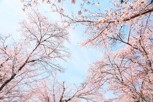 桜の木の写真素材 [FYI00437100]
