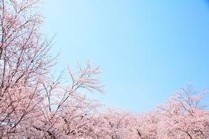 桜と空の写真素材 [FYI00437105]