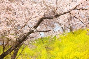 ピンクと黄色の景色の写真素材 [FYI00437106]