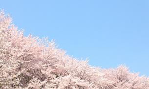 満開の桜の写真素材 [FYI00437107]