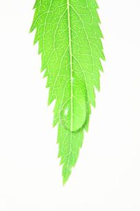 ユキヤナギの葉の写真素材 [FYI00437113]