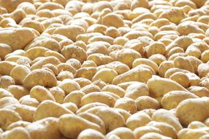 たくさんのジャガイモの写真素材 [FYI00437282]