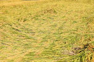 倒れている稲の写真素材 [FYI00437315]