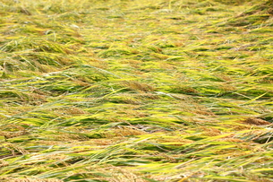 倒れている稲の写真素材 [FYI00437317]