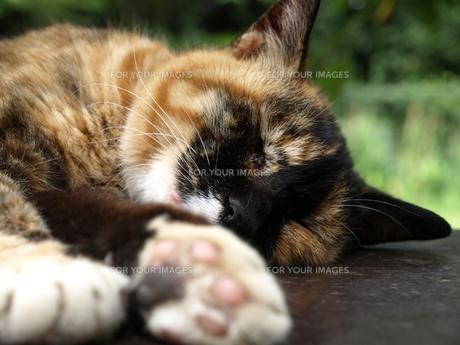 眠る三毛猫の写真素材 [FYI00437322]