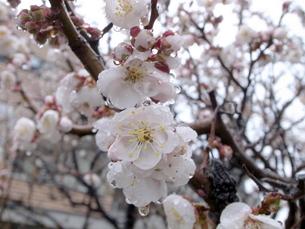 桜の花の写真素材 [FYI00437344]