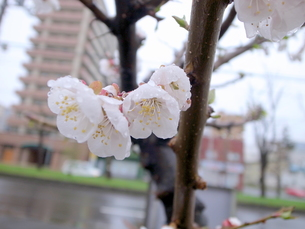 濡れた桜の花の写真素材 [FYI00437351]