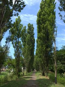 北海道大学のポプラ並木の写真素材 [FYI00437381]
