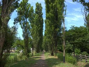 晴天のポプラ並木の写真素材 [FYI00437385]