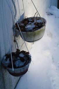 枯れた葉っぱの鉢の写真素材 [FYI00437389]