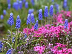 ムスカリと芝桜の写真素材 [FYI00437396]