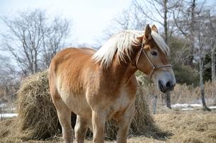 栗色の馬の写真素材 [FYI00437402]