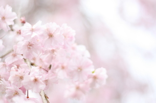 淡い色の桜の写真素材 [FYI00437427]