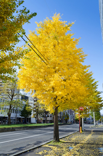色づく街路樹の写真素材 [FYI00437438]