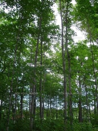 カナダの森林の写真素材 [FYI00437447]