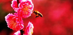 梅の花とミツバチの写真素材 [FYI00437499]