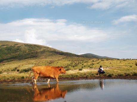 牛とカメラマンの写真素材 [FYI00437519]