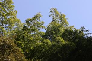 竹の葉と青空の写真素材 [FYI00437556]