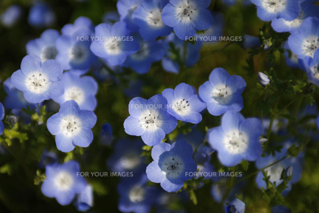 ツートンカラーの小花の素材 [FYI00437646]