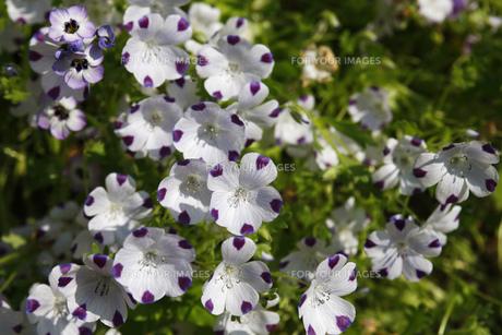 ツートンカラーの花の素材 [FYI00437655]