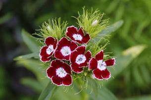 ツートンカラーの小花の素材 [FYI00437690]