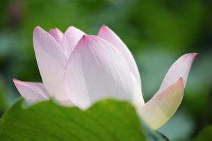 蓮の花の写真素材 [FYI00437752]