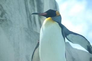 ペンギンの写真素材 [FYI00437767]